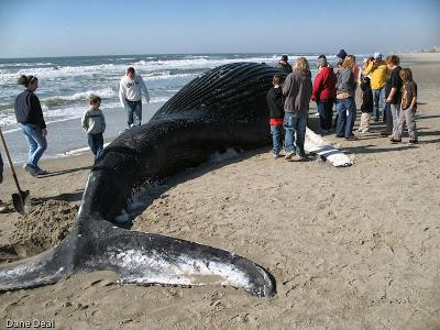 AA - Beached Whale